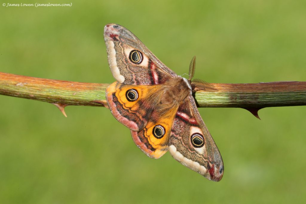 2_Emperor Moth_James Lowen_LOW8099