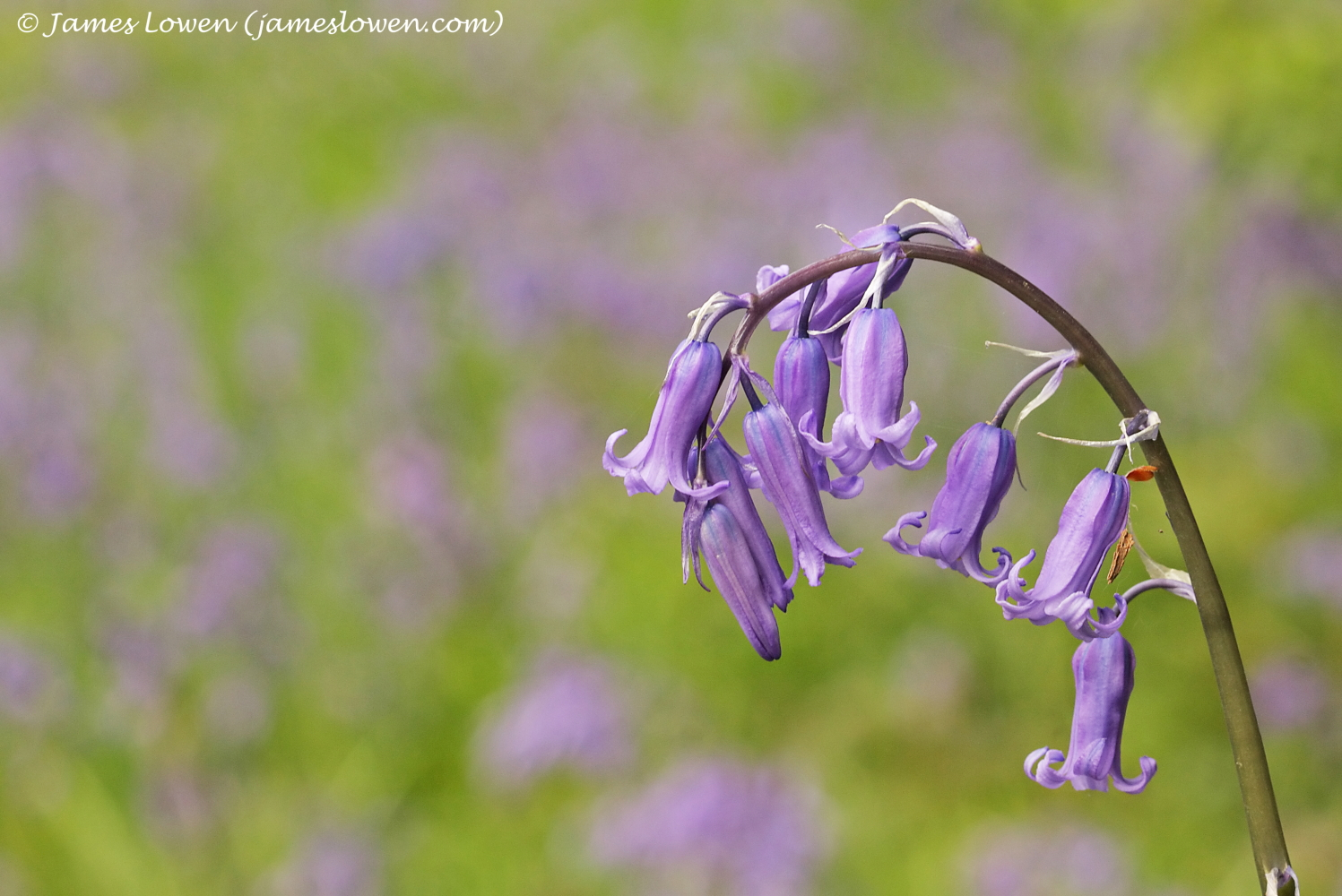 4_Bluebells_James-Lowen_9317-copy