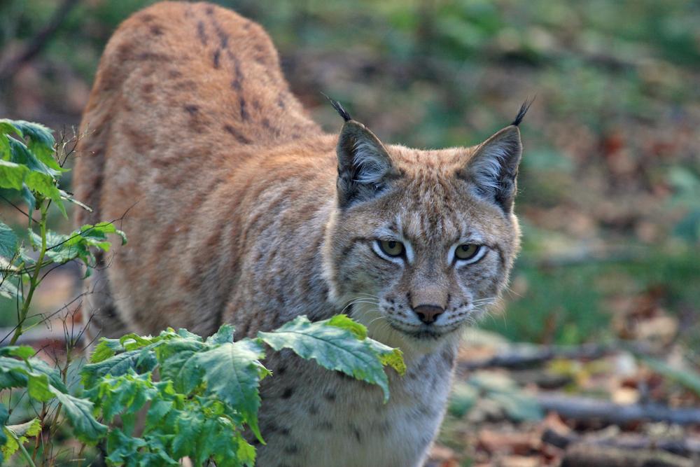 Comeback for the lynx? | BGTW