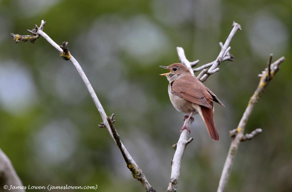 A singing nightingale