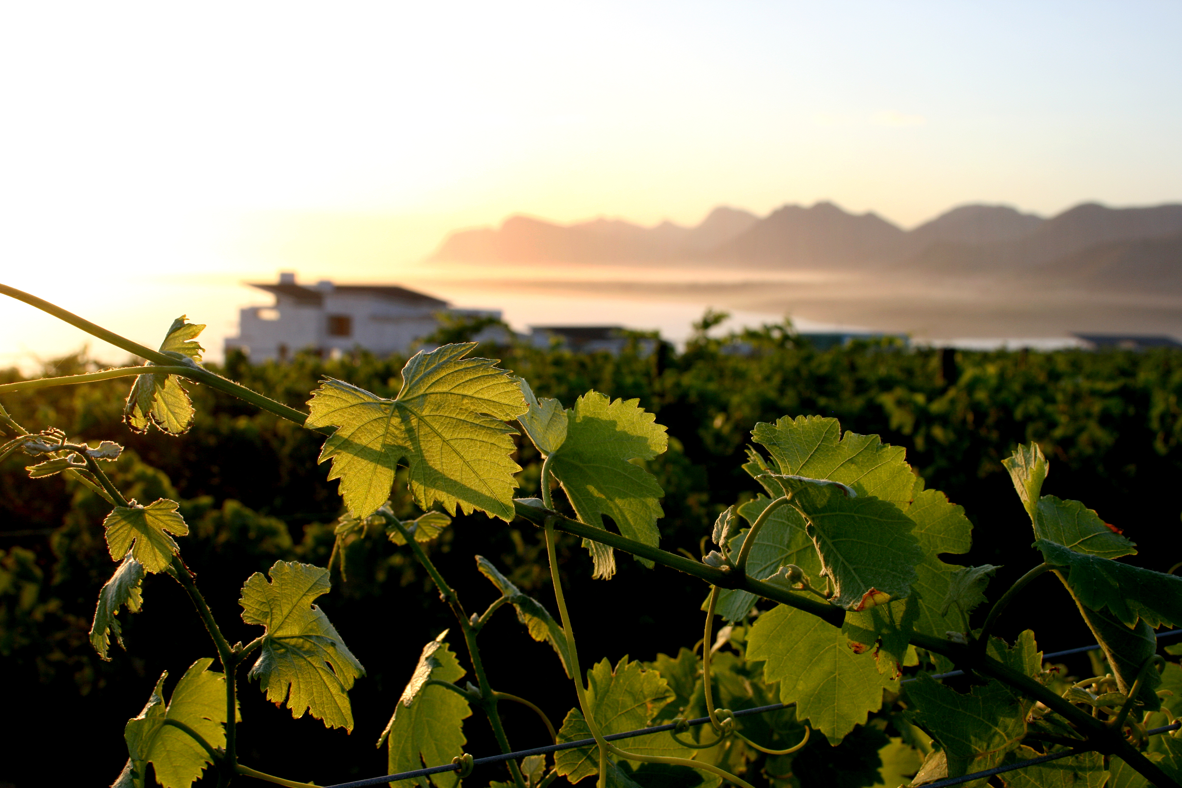Benguela-Cove-Vinyard-South-Africa