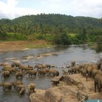 Elephants in the river. Sri Lanka