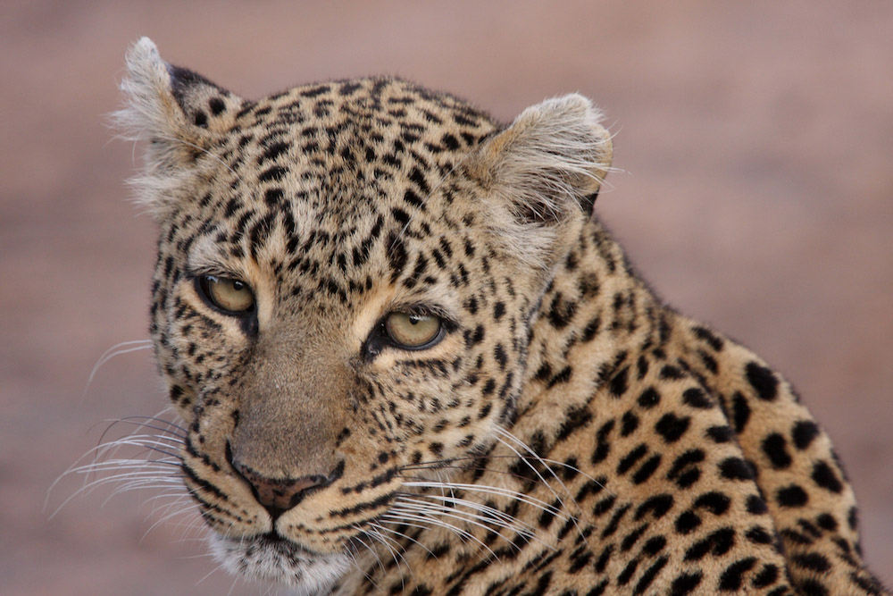 Leopard by Peter Ellegard.